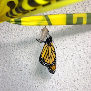 In a matter of weeks, a caterpillar that anchored its chrysalis onto caution tape transformed into this young butterfly -- Photo by Fred Alvarez