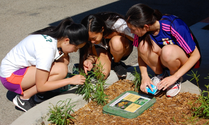 Students Vivian Yan, Winnie Chang and Momoe Takamatsu get an up-close look at the caterpillars feeding on milkweed -- Photo by Fred Alvarez